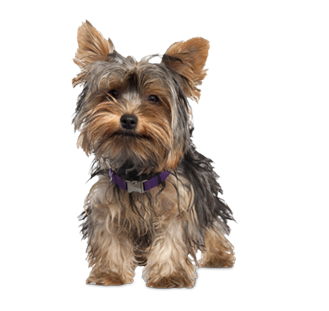 yorkie dog lovers woo ecommerce wp theme. Black Bedroom Furniture Sets. Home Design Ideas