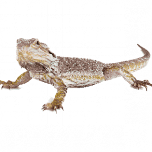 Reptile1