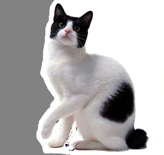 Japanese Bobtail - Cat...