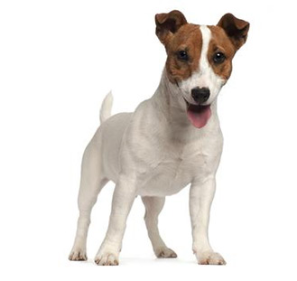 jack russell terrier dog lovers woo ecommerce wp theme