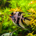 the African Cichlid